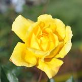 rose3-large